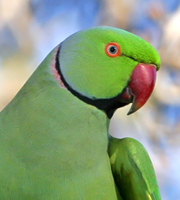 Mustache Parakeet Los Angeles