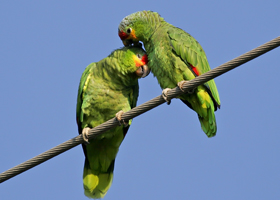 The California Parrot Project